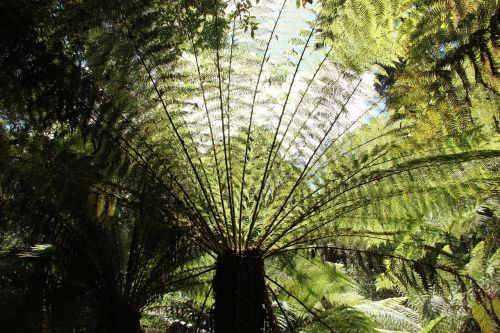 of giant fern plant