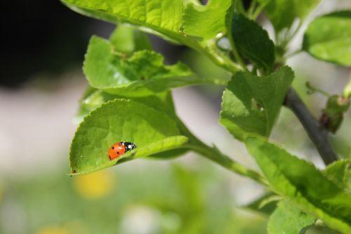 of god ladybug greens