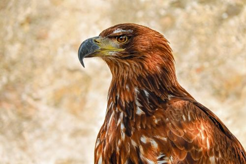 of prey eagle savannah eagle adler