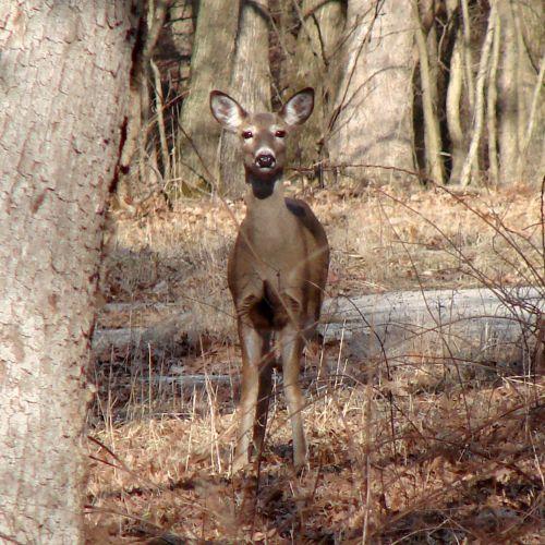 elnias, mediena, balta & nbsp, uodega, gyvūnas, gamta, įdomu, pavasaris, dienos metu, oh deer