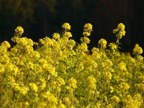 oilseed rape field of rapeseeds blossom