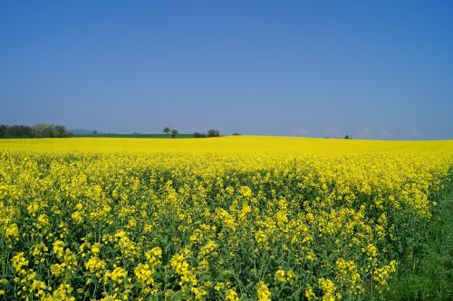 oilseed rape field of rapeseeds meadow