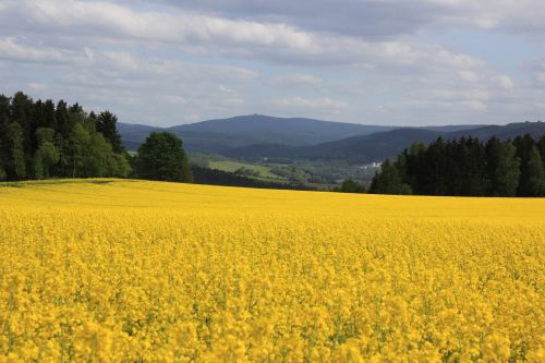 oilseed rape fichtelberg ore mountains