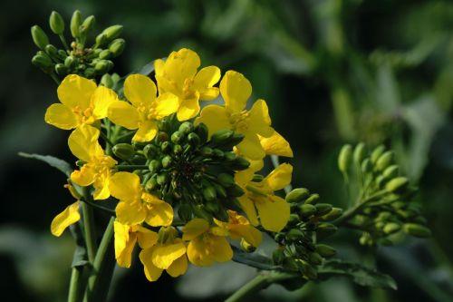 oilseed rape rape blossom field of rapeseeds