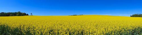 oilseed rape thuringia germany summer