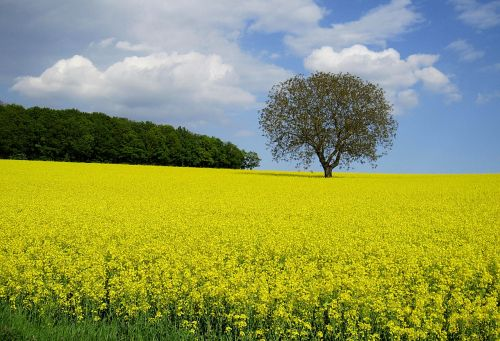 oilseed rape field of rapeseeds spring
