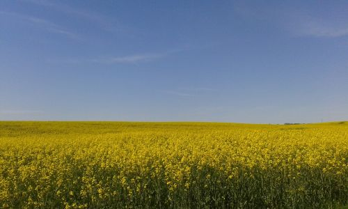 oilseed rape field summer