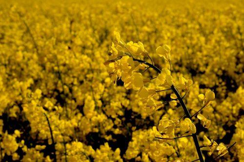 oilseed rape rare plant field of rapeseeds