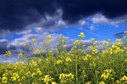 oilseed rape close blossom