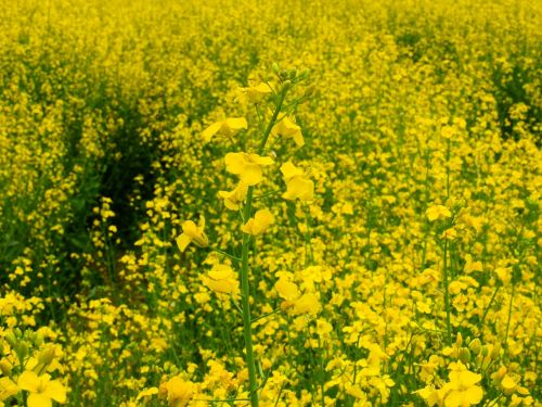 oilseed rape field of rapeseeds flower