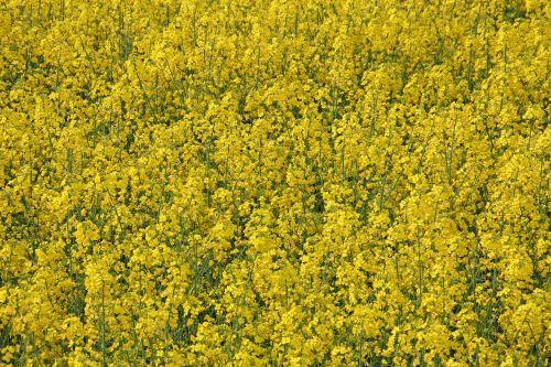 oilseed rape field of rapeseeds field