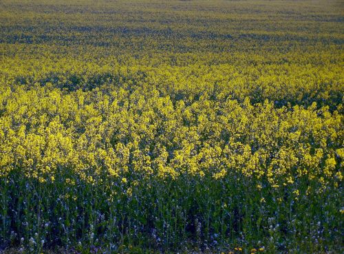 oilseed rape field of rapeseeds field