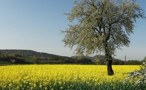 oilseed rape  fruit tree  blossom