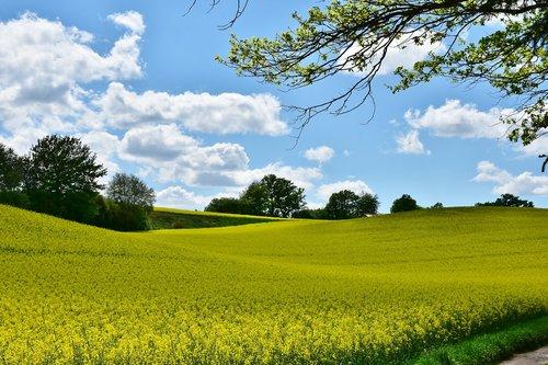oilseed rape  landscape  field