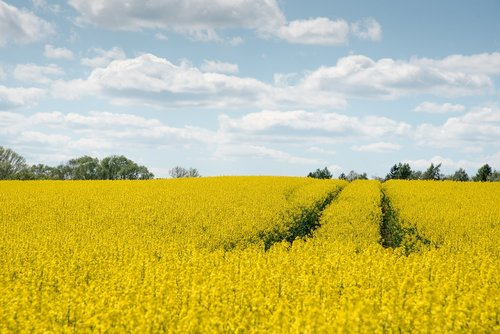 oilseed rape  agriculture  yellow