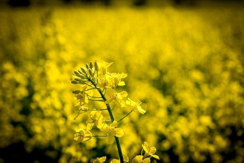 oilseed rape  rape blossom  yellow