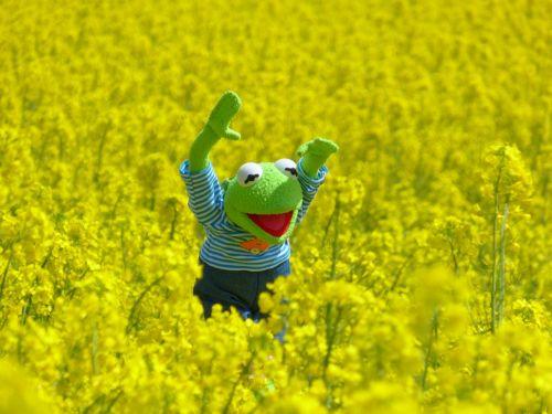 oilseed rape field of rapeseeds frog