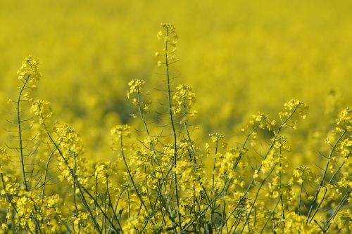 oilseed rape field yellow