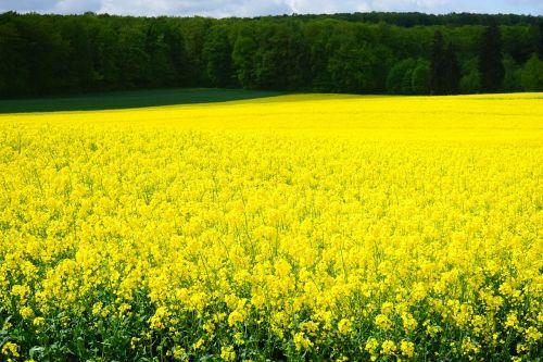 oilseed rape field of rapeseeds blütenmeer