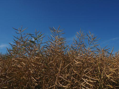 oilseed rape field of rapeseeds brassica napus