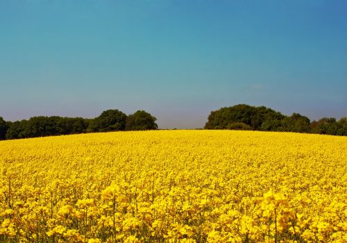 oilseed rape field of rapeseeds yellow