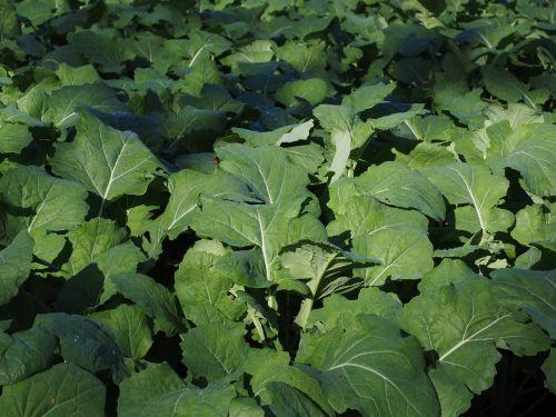 oilseed rape leaves green