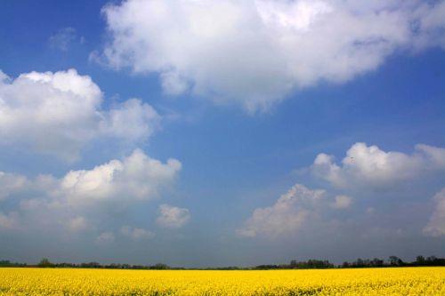 oilseed rape rape blossom field