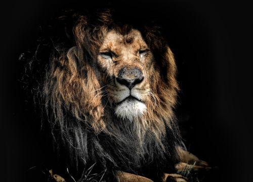 old old age lion