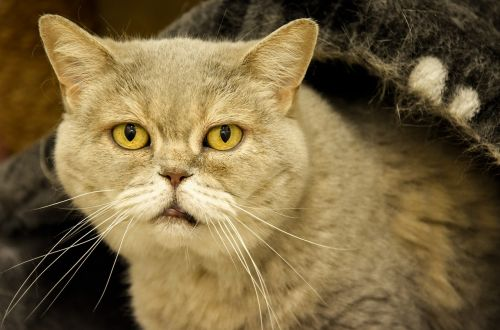 old cat british shorthair animal shelter