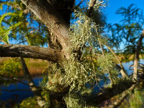 old man's beard lichen beard lichen