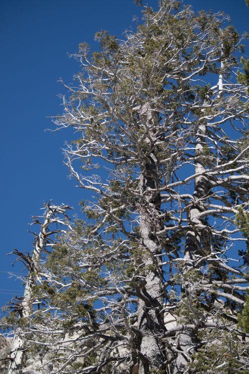 Old Pine Tree