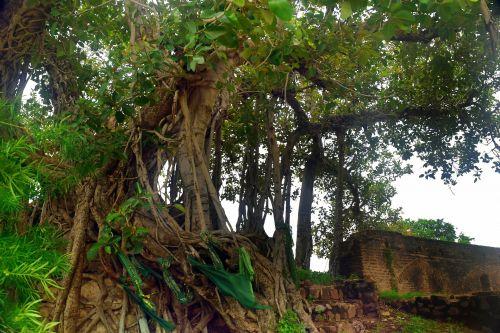 Old Sacred Tree
