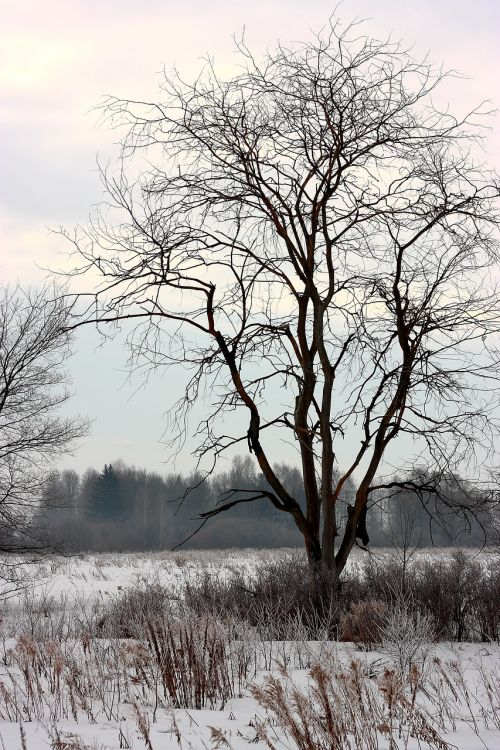 old tree winter the lone