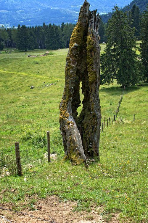 old tree butt tree