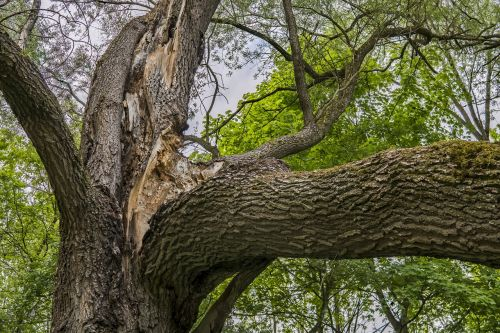 old tree broken branch old