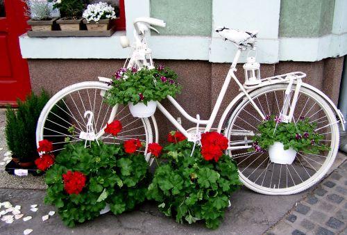 old white bicycle red geranium romanticism