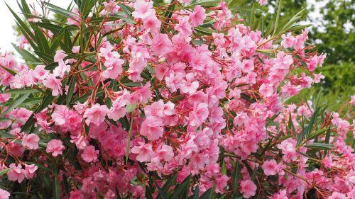 oleander bush nerium oleander