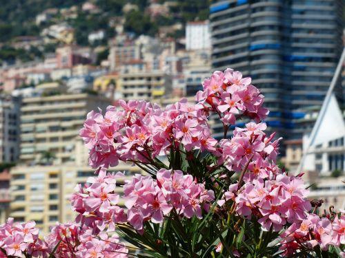 oleander flower flowers
