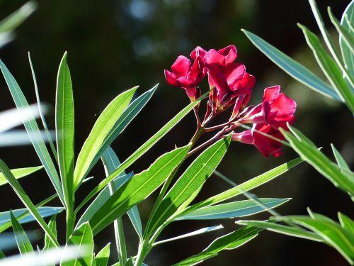 oleander flower blossom