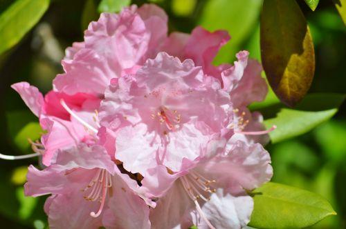 oleander laurel rose dog gift greenhouse