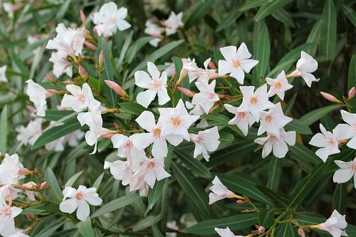 oleander  common oleander  oleander white