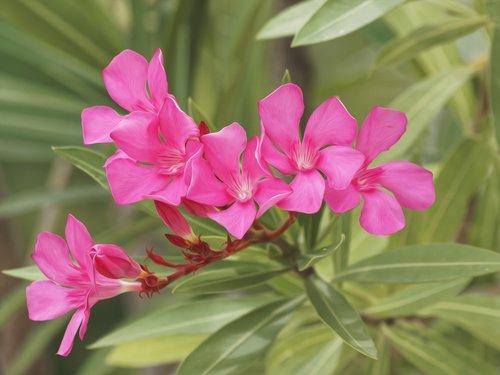 oleander  nerium oleander  shrub