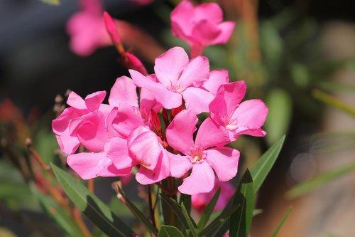 oleander  flowers  nerium oleander