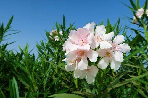 oleander  white oleander  white