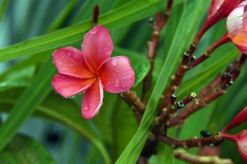 Oleander Pink Rain