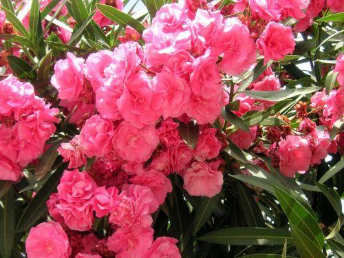 oleanders pink flowers