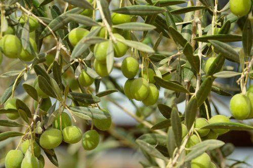 olivas olives fruit