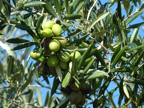 olive olives green