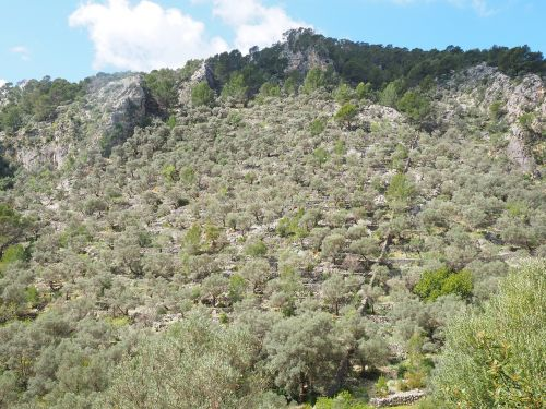 olive grove mountainside mountain