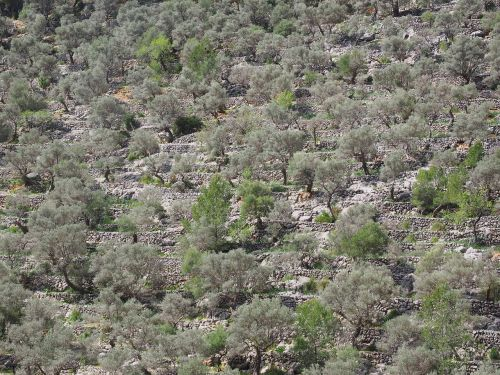 olive grove mountainside slope